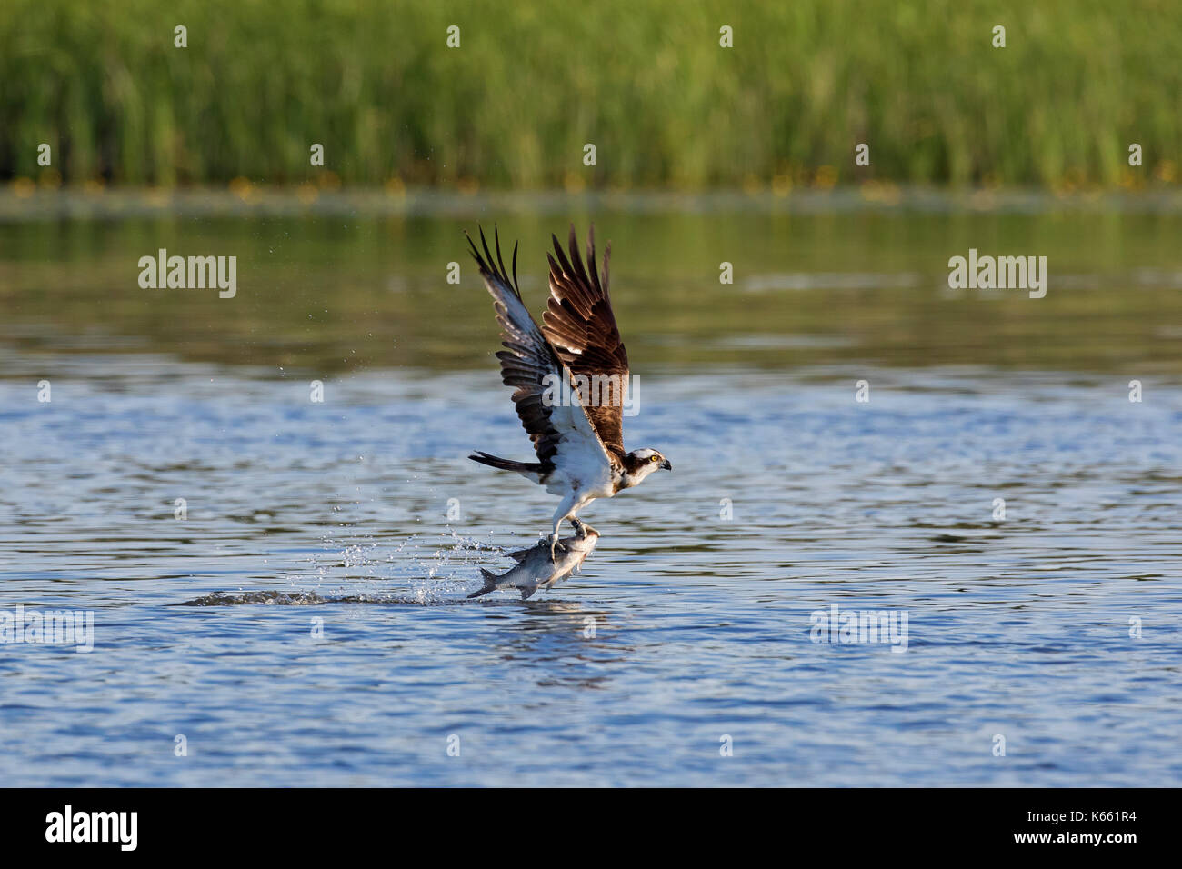Western osprey (Pandion haliaetus) catching fish from lake with talons - Stock Image