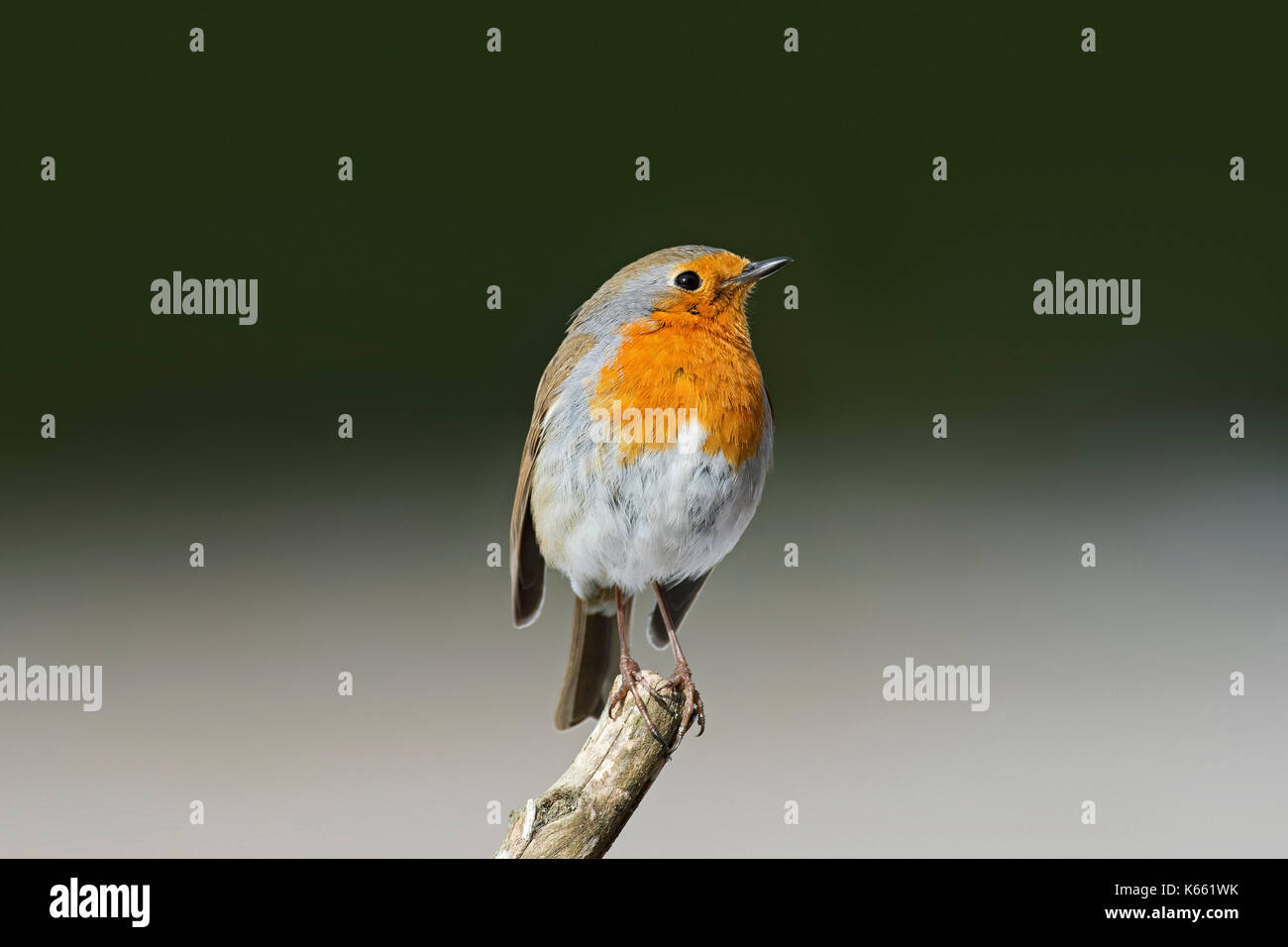 European robin (Erithacus rubecula) perched on branch Stock Photo