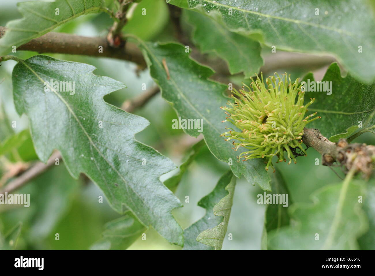 Turkey Oak tree (Quercus cerris), displaying foliage and developing fruit in summer (July), UK - Stock Image