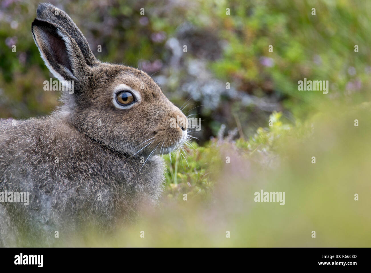 Mountain Hare (Lepus Timidus), Scottish Highlands, August 2017 - Stock Image