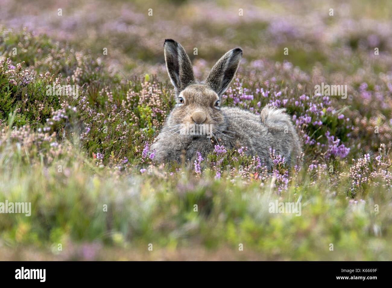 Mountain Hare (Lepus Timidus), Scottish Highlands, August 2017 - Stock Image