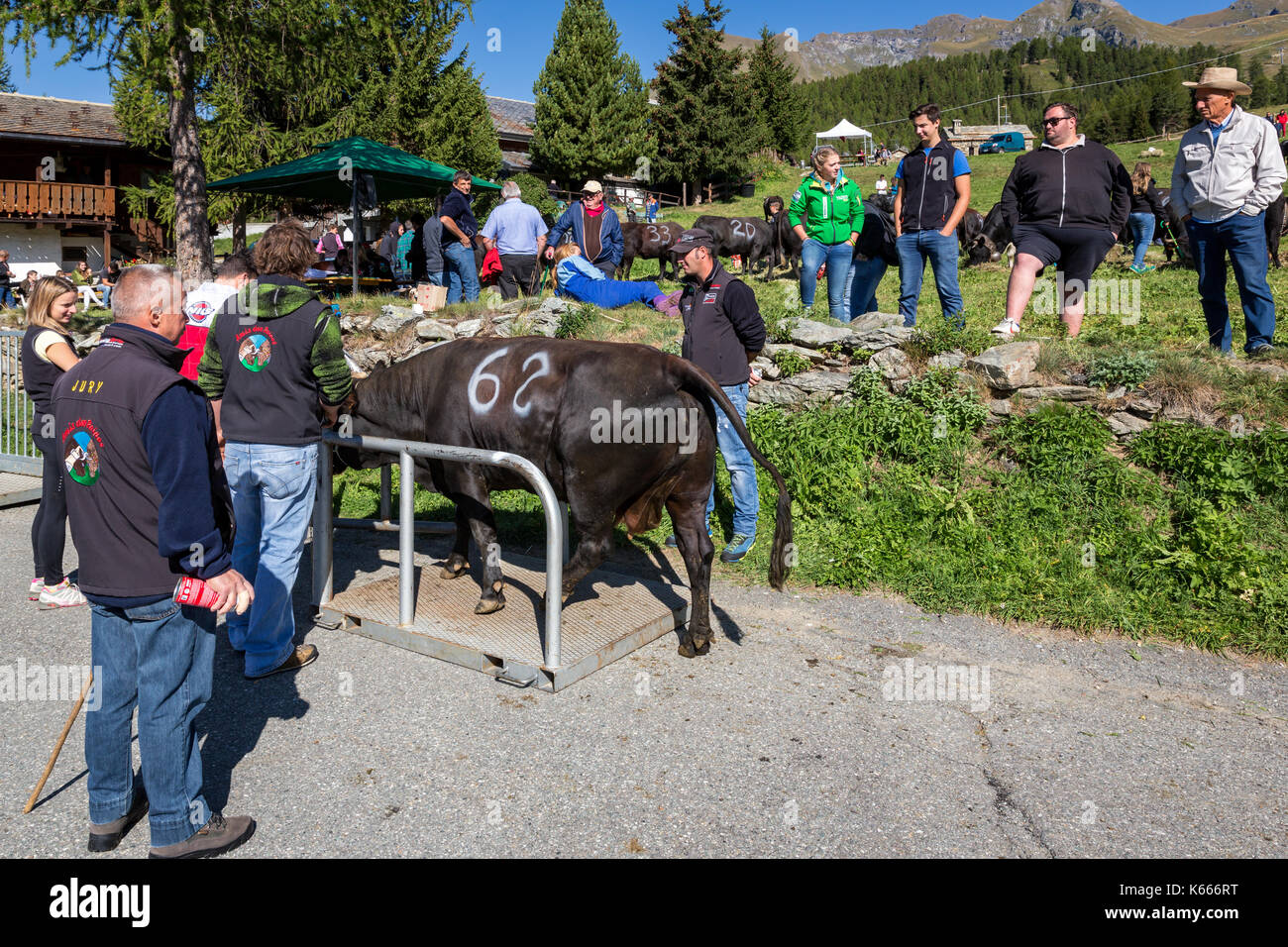 A cow being weighted prior to a traditional cow fight, Brusson, Aosta Valley, Italy - Stock Image