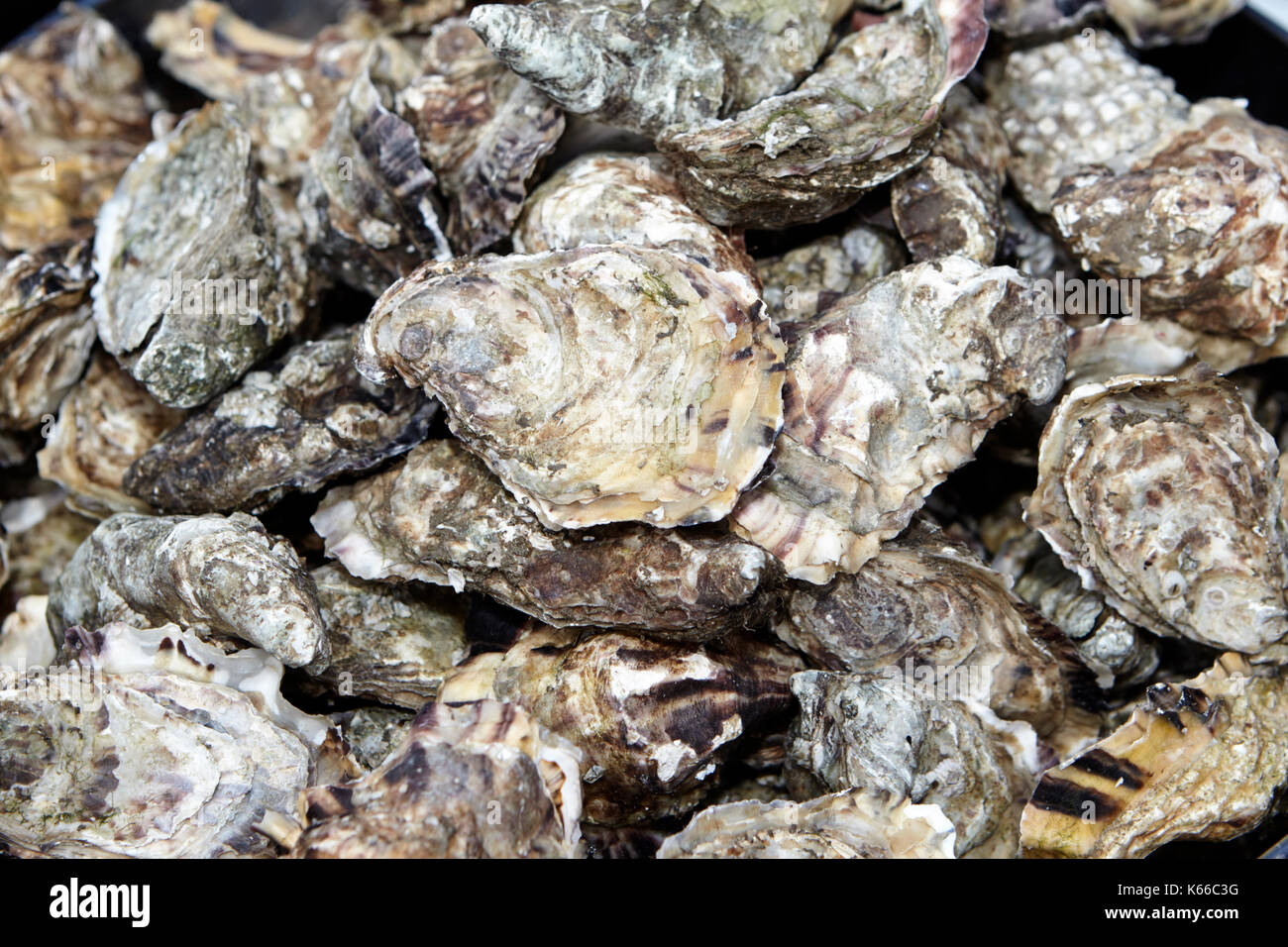 locally caught oysters in county down northern ireland - Stock Image