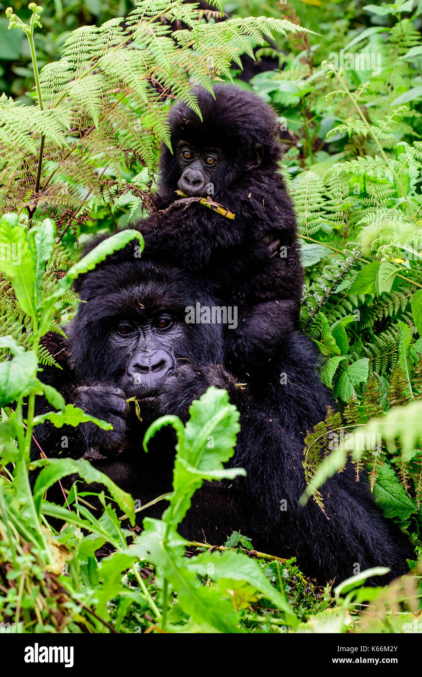 Mother and baby mountain gorilla feeding together with baby on her back - Stock Image