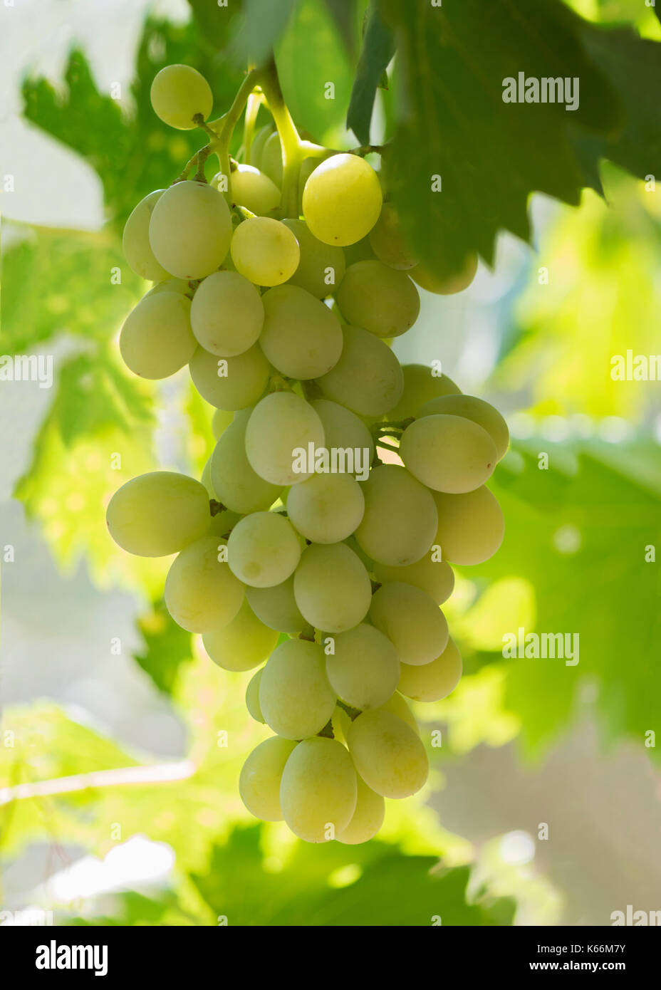 vertical image of plump white grapes hanging on a vine, backlit buy the morning sun bokeh affect in the green background - Stock Image