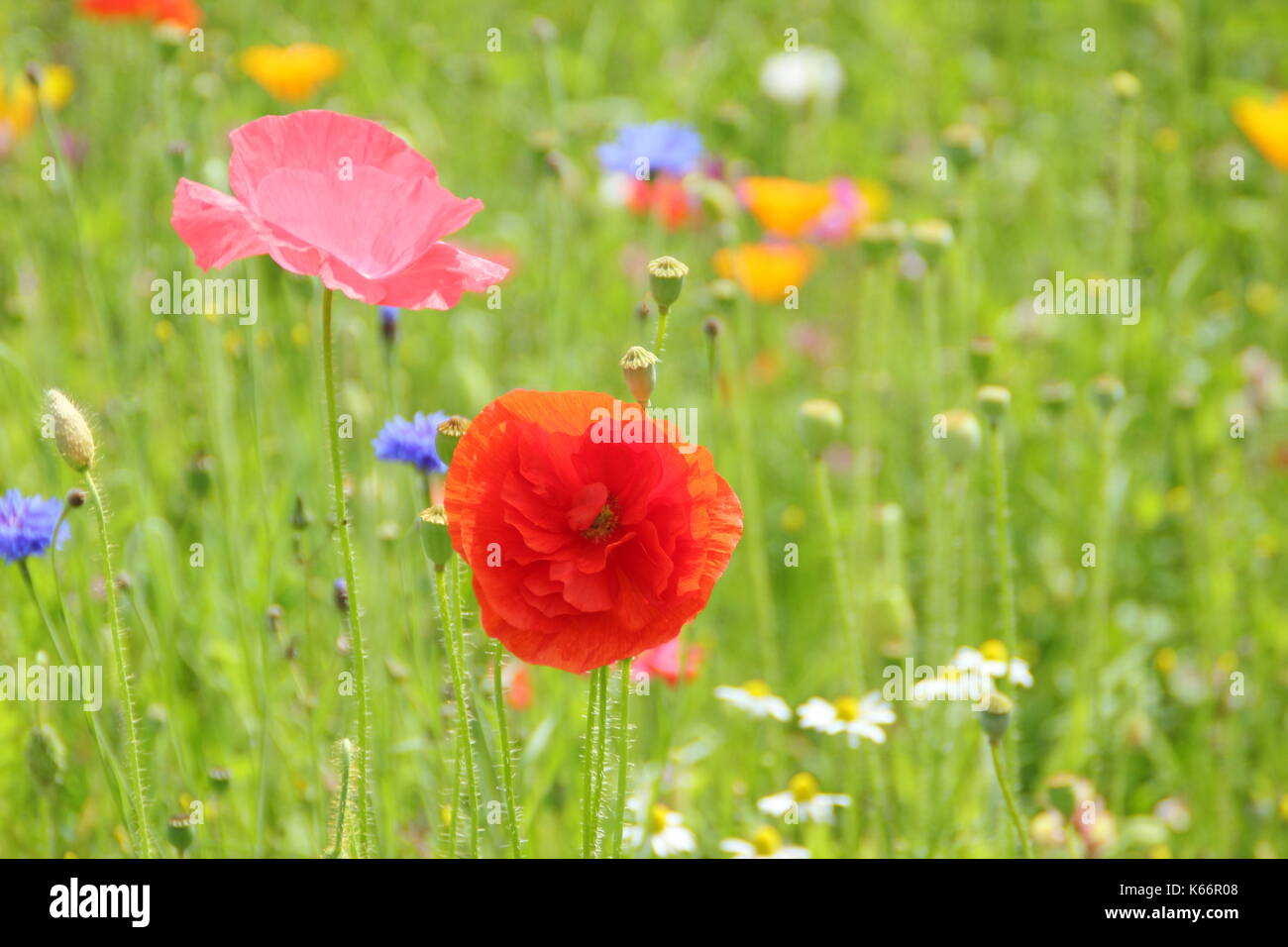 True Shirley poppies (Papaver rhoeas), with silken petals and pastel colours in a cultivated wildflower meadow at the height of an English summer Stock Photo