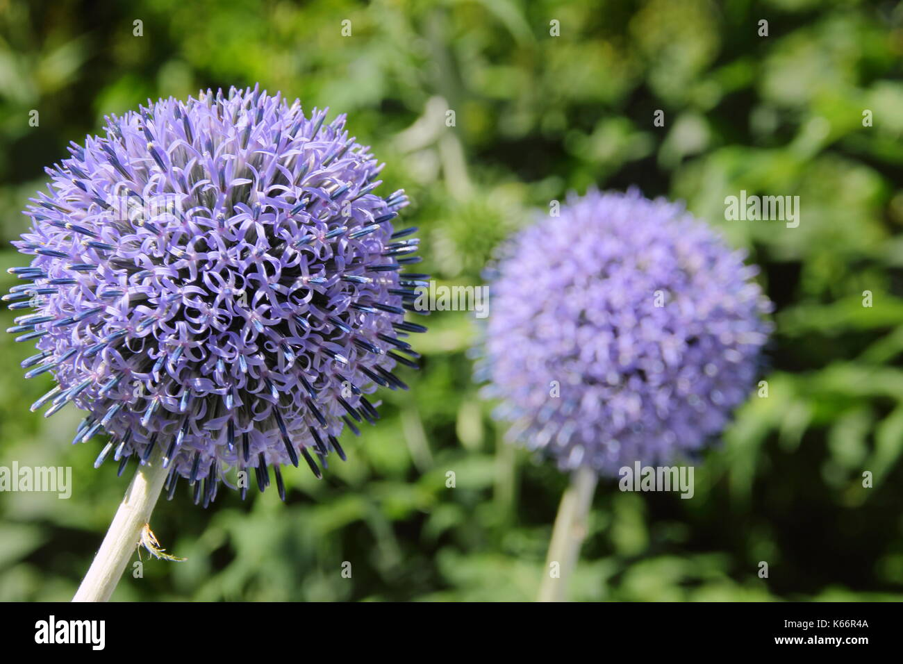 Globe Thistles (Echinops Bannaticus) 'Taplow blue' flower flourishing in an English garden border in summer (July) - Stock Image