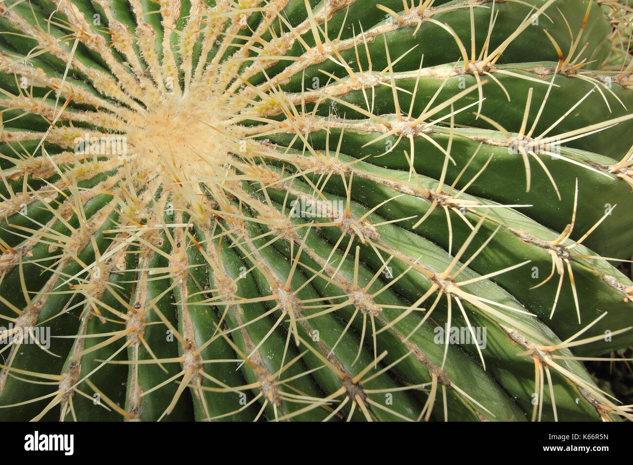 The ribs and spines of a mature Barrel cactus (Ferocactus glaucescens) growing under glass in the UK - Stock Image