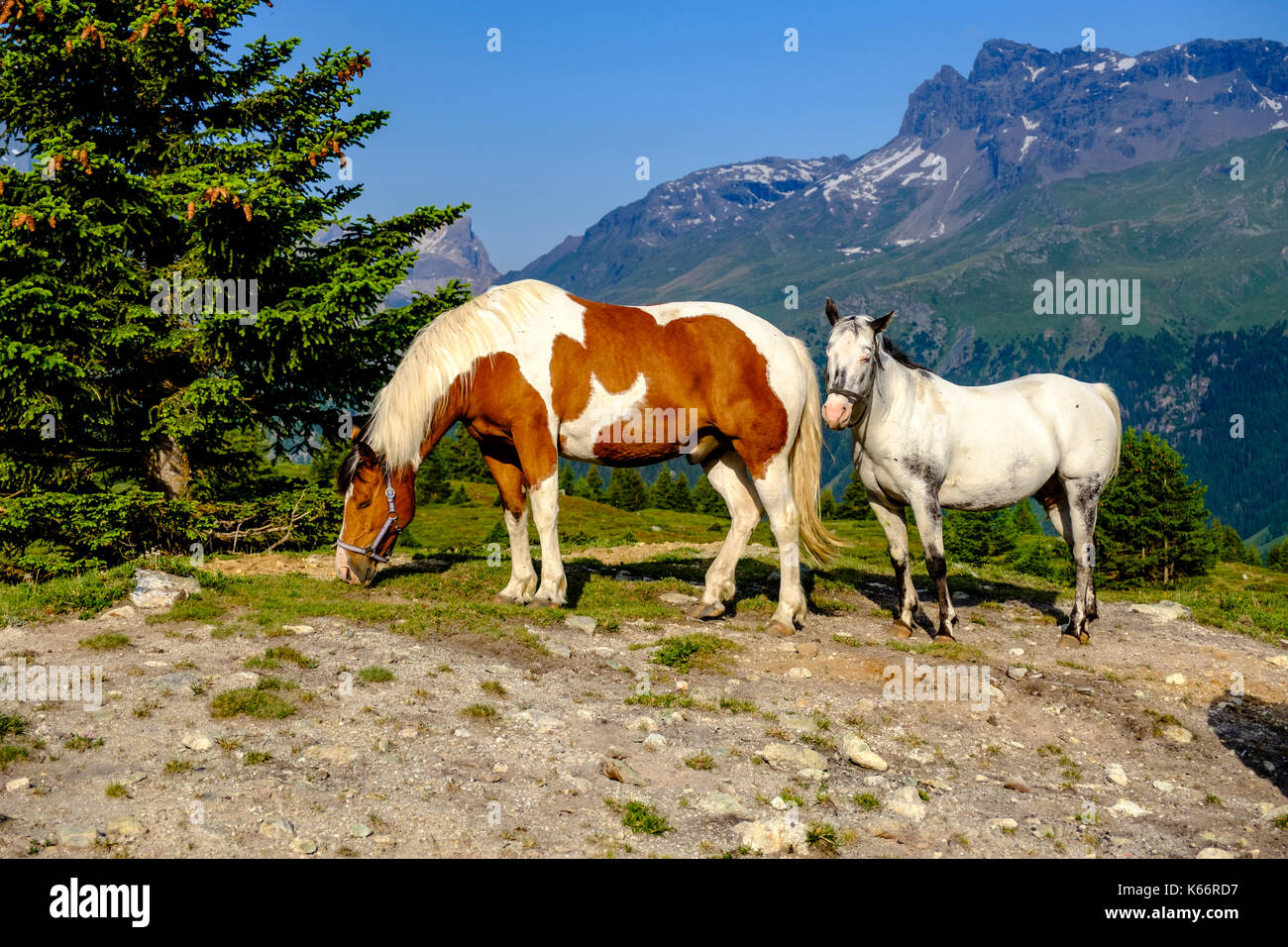 Horses are grazing on the green meadows of the mountain slopes at Alp Flix - Stock Image