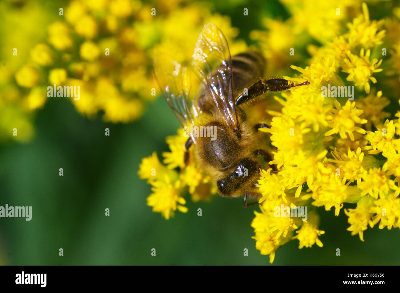 Honeybee feeding on yellow goldenrod pollinate flowers nectar pollen, macro close-up photo of insect, Canada. - Stock Image