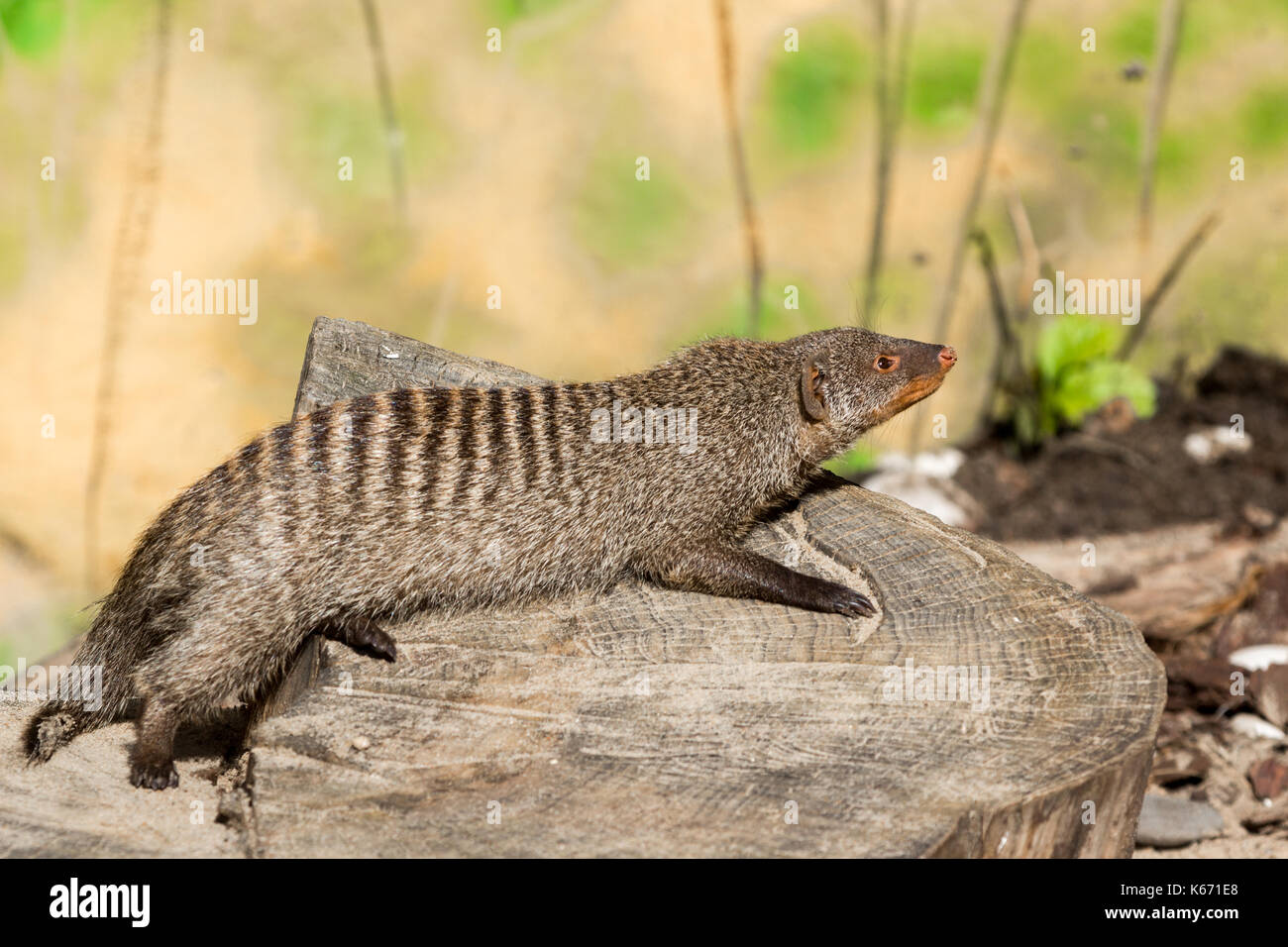 the striped mongoose rests on a stump in Ruaha National Park ,Iringa,Tansania - Stock Image