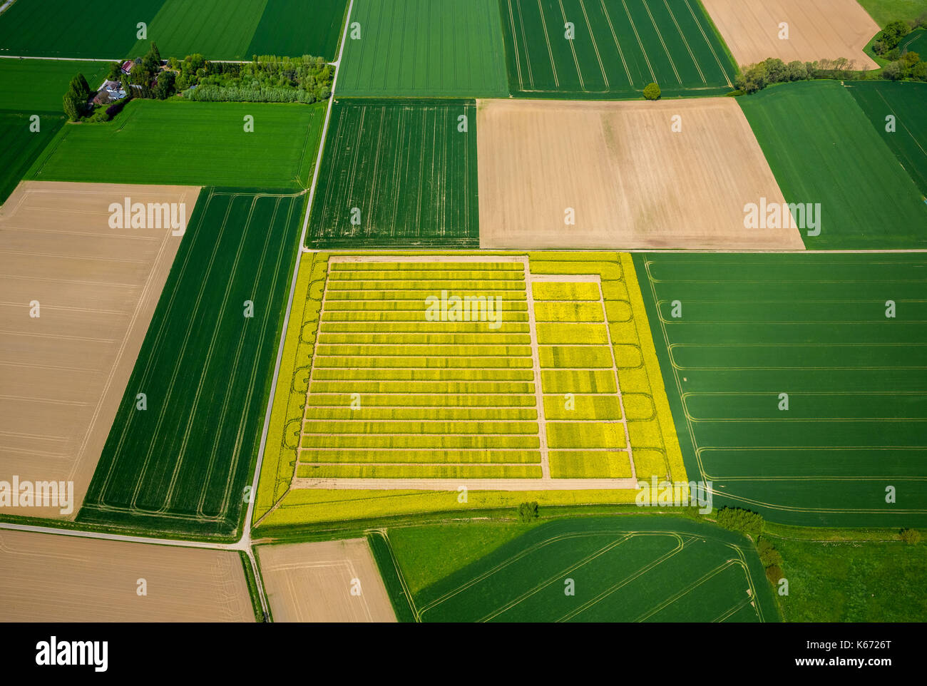 Canola field with divisions for Testsaat, Landwirtschft, agricultural cropland, agricultural test site, Saatoptimierung, yellow rapeseed field in gree - Stock Image
