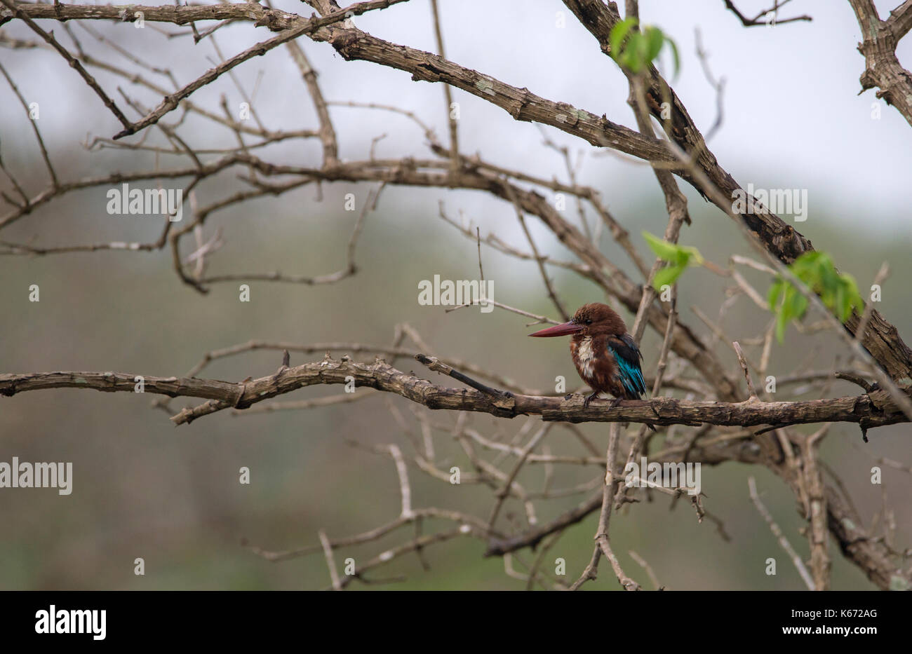 Perched white throated kingfisher on tree - Stock Image