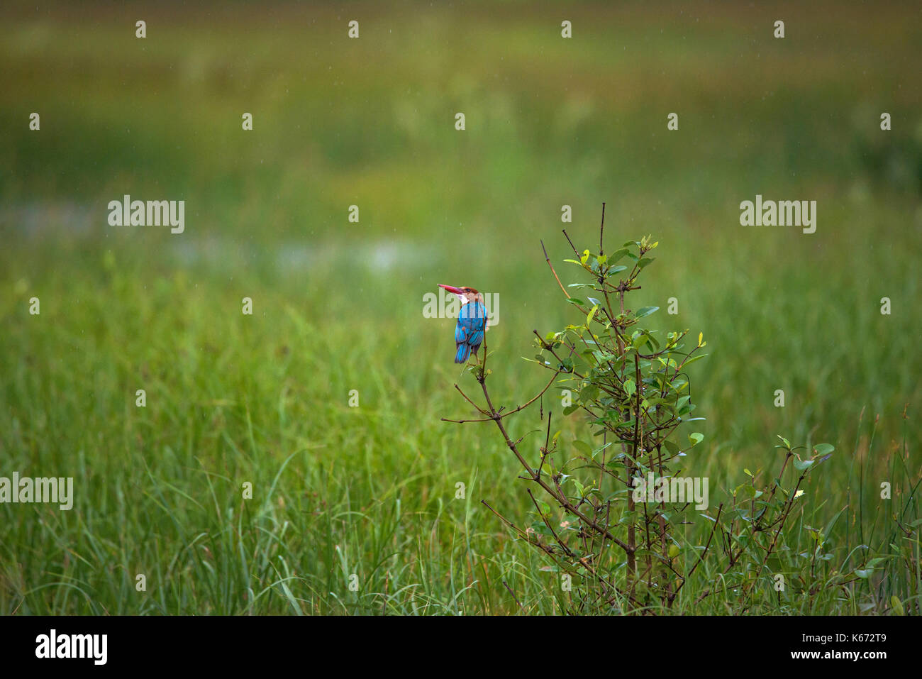 White throated kingfisher bird in rain in a paddy field - Stock Image
