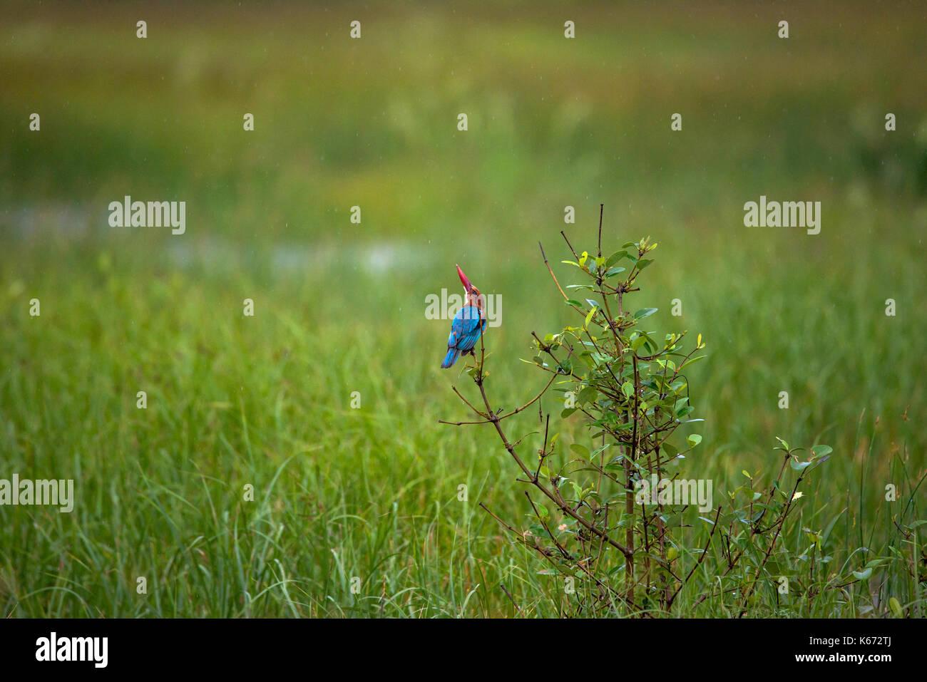 White throated kingfisher bird in rain - Stock Image