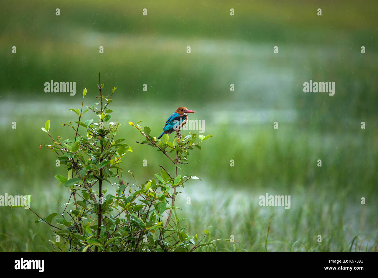 A white Throated kingfisher bird perched on a plant in a paddy field during rain - Stock Image