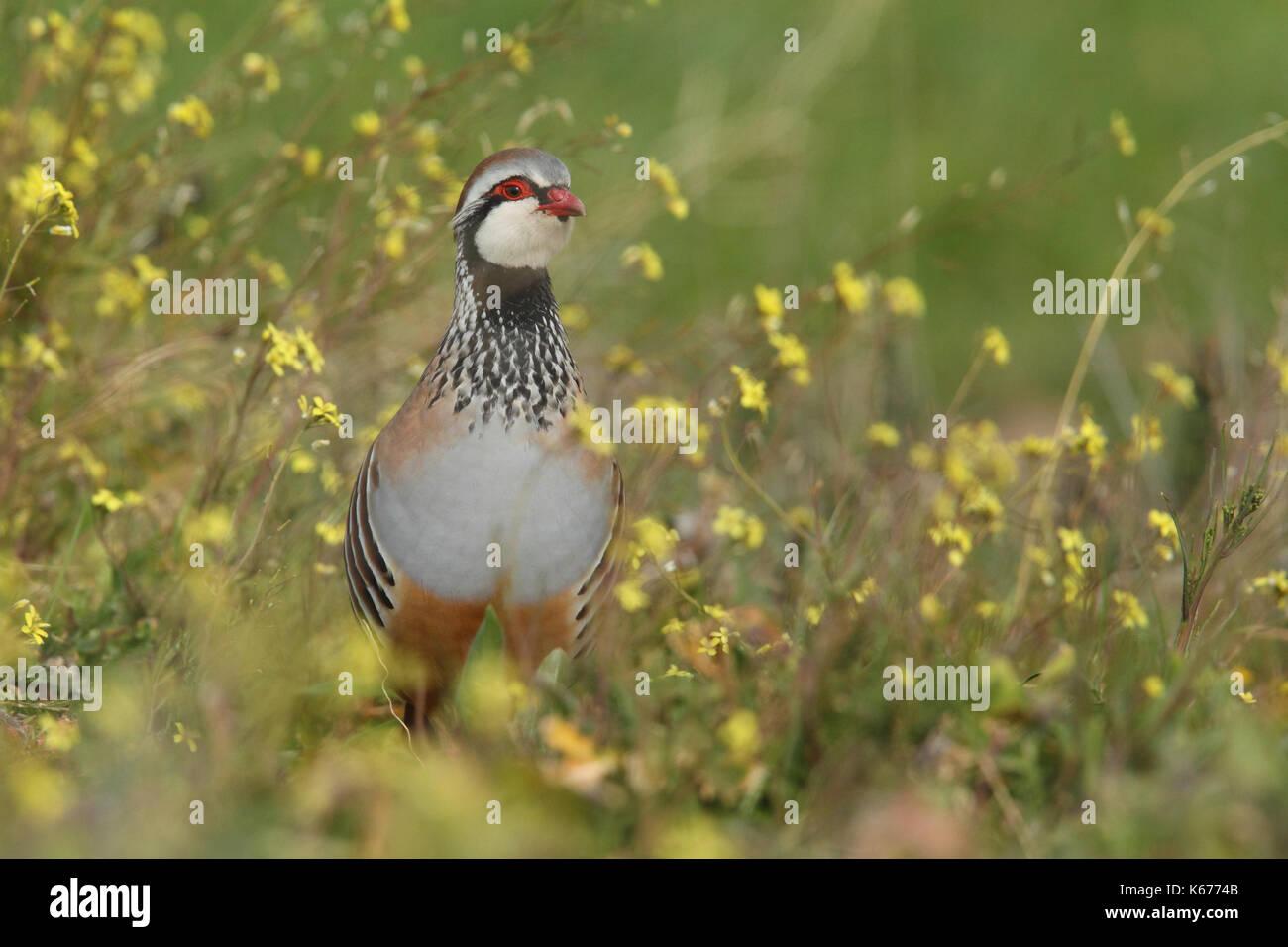 red legged partridge - Stock Image