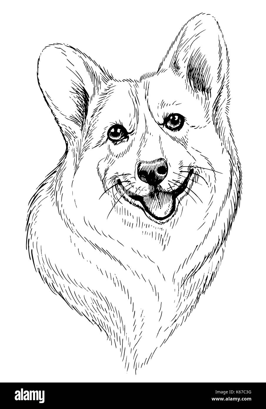 Vector hand-drawn sketch portrait of welsh corgi pembroke . Hand drawn domestic pet dog illustration isolated on white background - Stock Image
