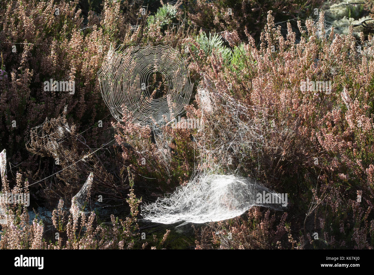 Spider's webs among heather early in the morning in autumn - Stock Image