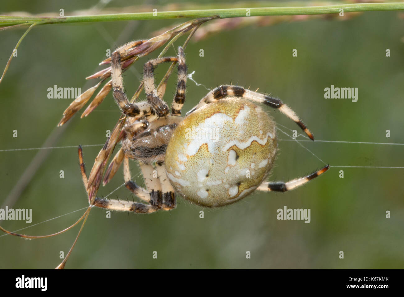 Close-up of female four-spotted orbweaver spider on a web in heathland in Hampshire, UK - Stock Image
