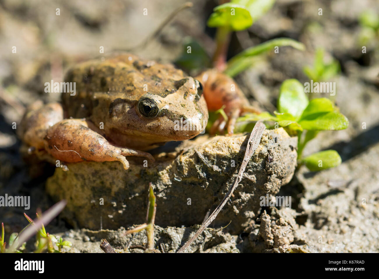 A Mediterranean Painted Frog, Discoglossus pictus, in the mud near a water pond in a Maltese valley, Malta - Stock Image