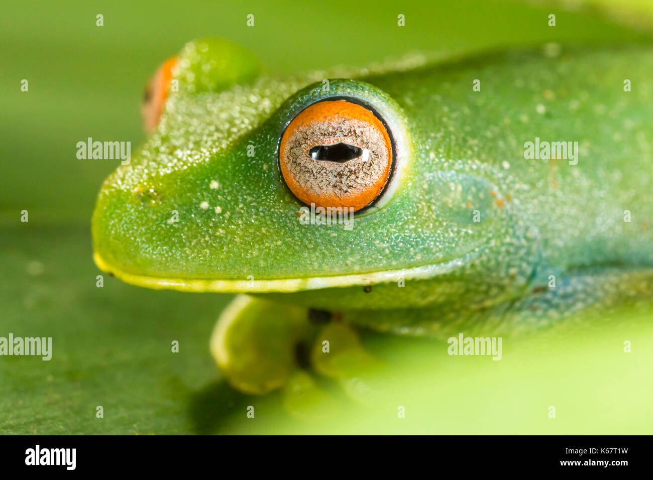 green frog with red eyes macro closeup detail Stock Photo