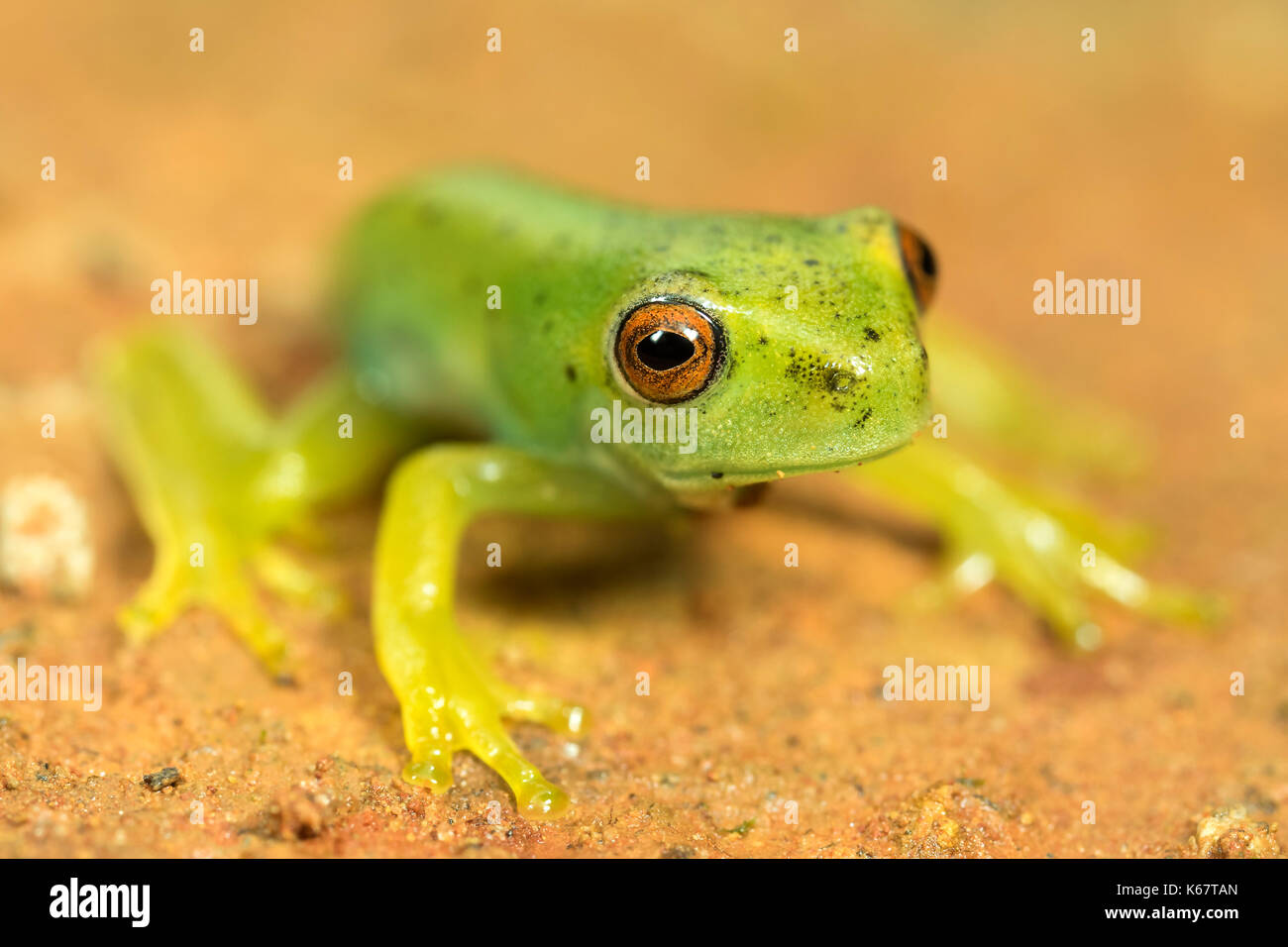 little green frog with red eyes - Stock Image