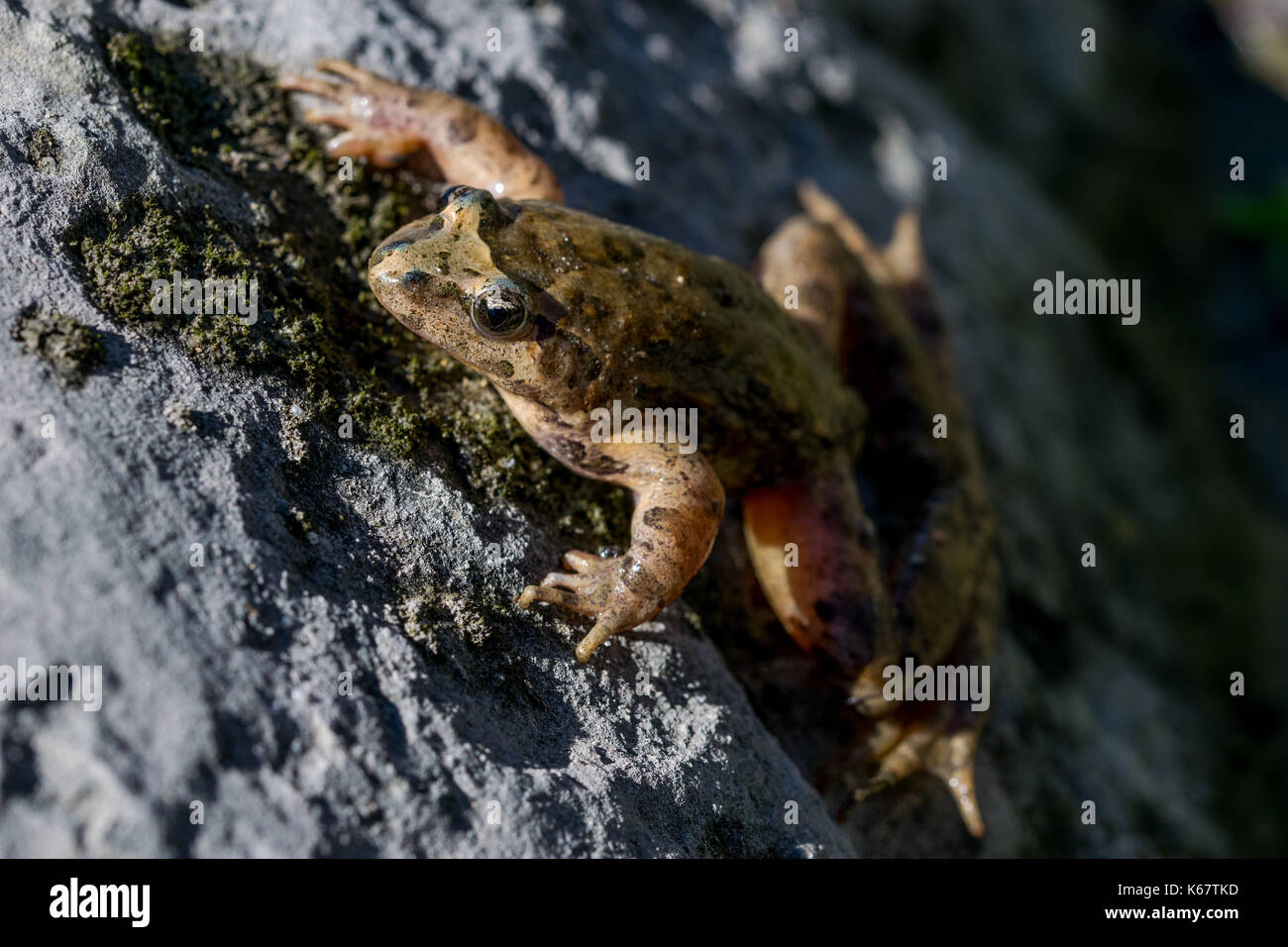 A Mediterranean Painted Frog, Discoglossus pictus, resting on a rock near a water pond in a Maltese valley, Malta - Stock Image