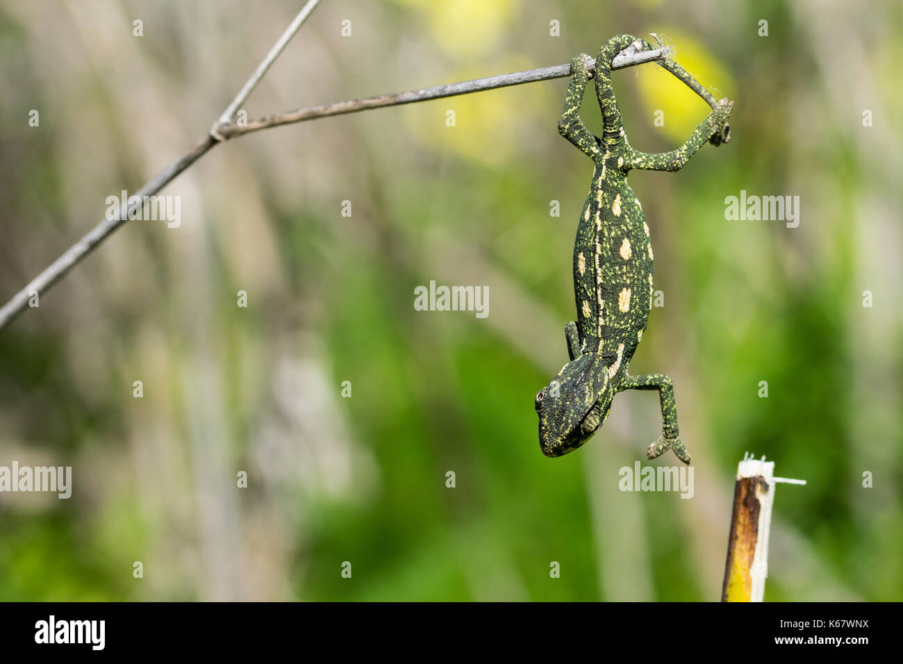 A baby chameleon holding on and trying to balance on a fennel twig, using its tail and legs. Maltese Islands, Malta - Stock Image