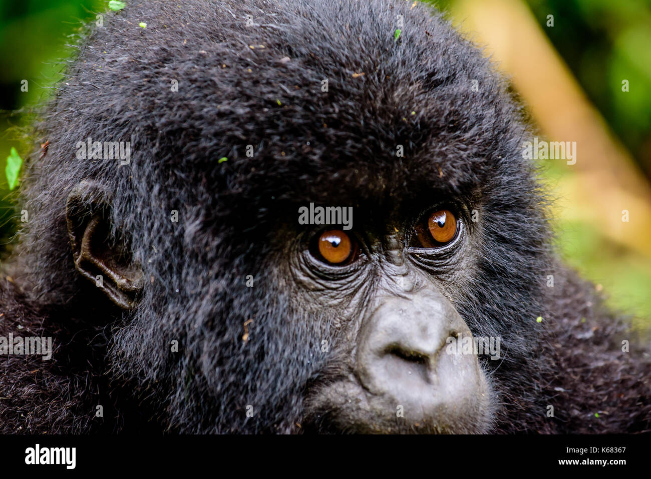 close up of the face and eyes of a baby mountain gorilla - Stock Image