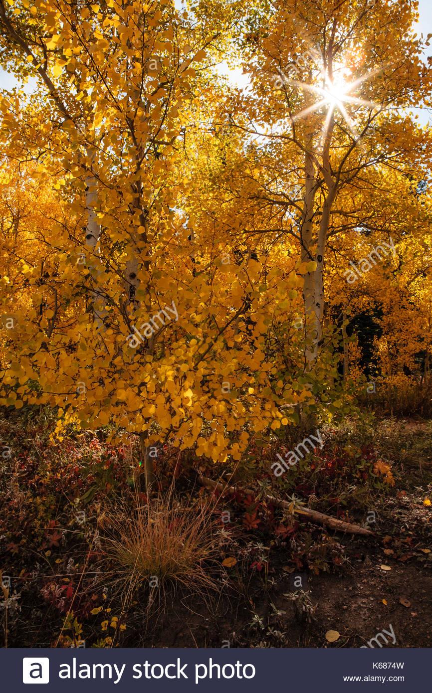 Sunstar through aspens in fall - Stock Image