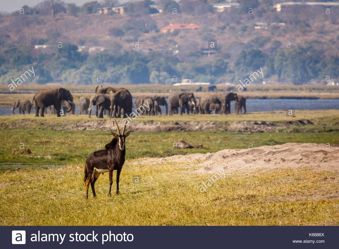Sable Antelope in Chobe National Park taken on Safari in Botswana, Africa - Stock Image