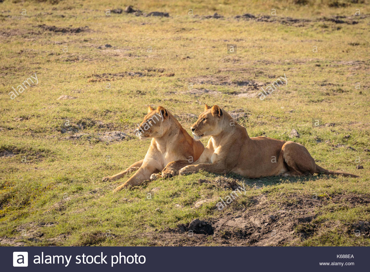 Lions in Chobe National Park taken on Safari in Botswana, Africa - Stock Image