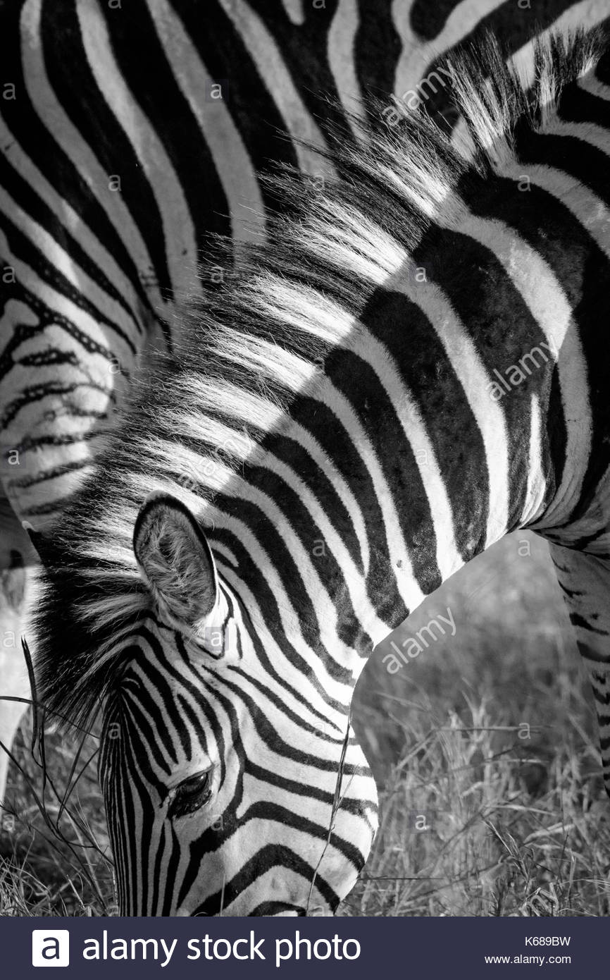 Zebra in Chobe National Park taken on Safari in Botswana, Africa - Stock Image