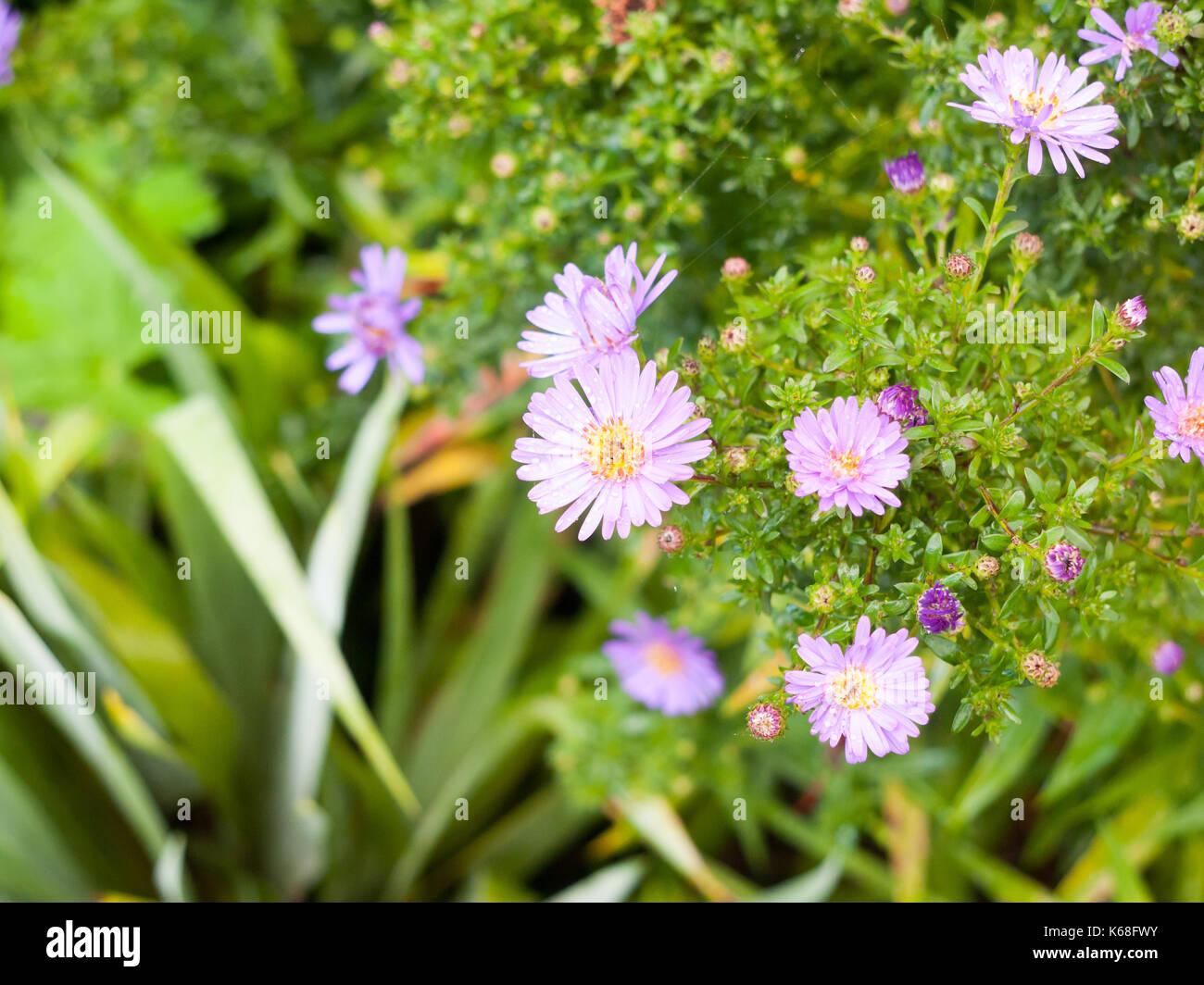 star shaped daisy stock photos & star shaped daisy stock images - alamy