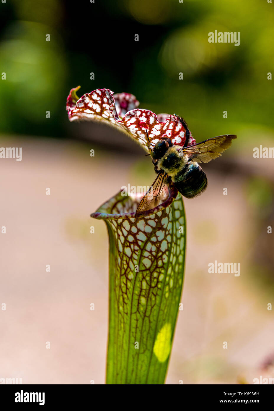 Pollinator bee on edge of a green pitcher plant with red edges and veins, a native plant of North Carolina, USA. - Stock Image