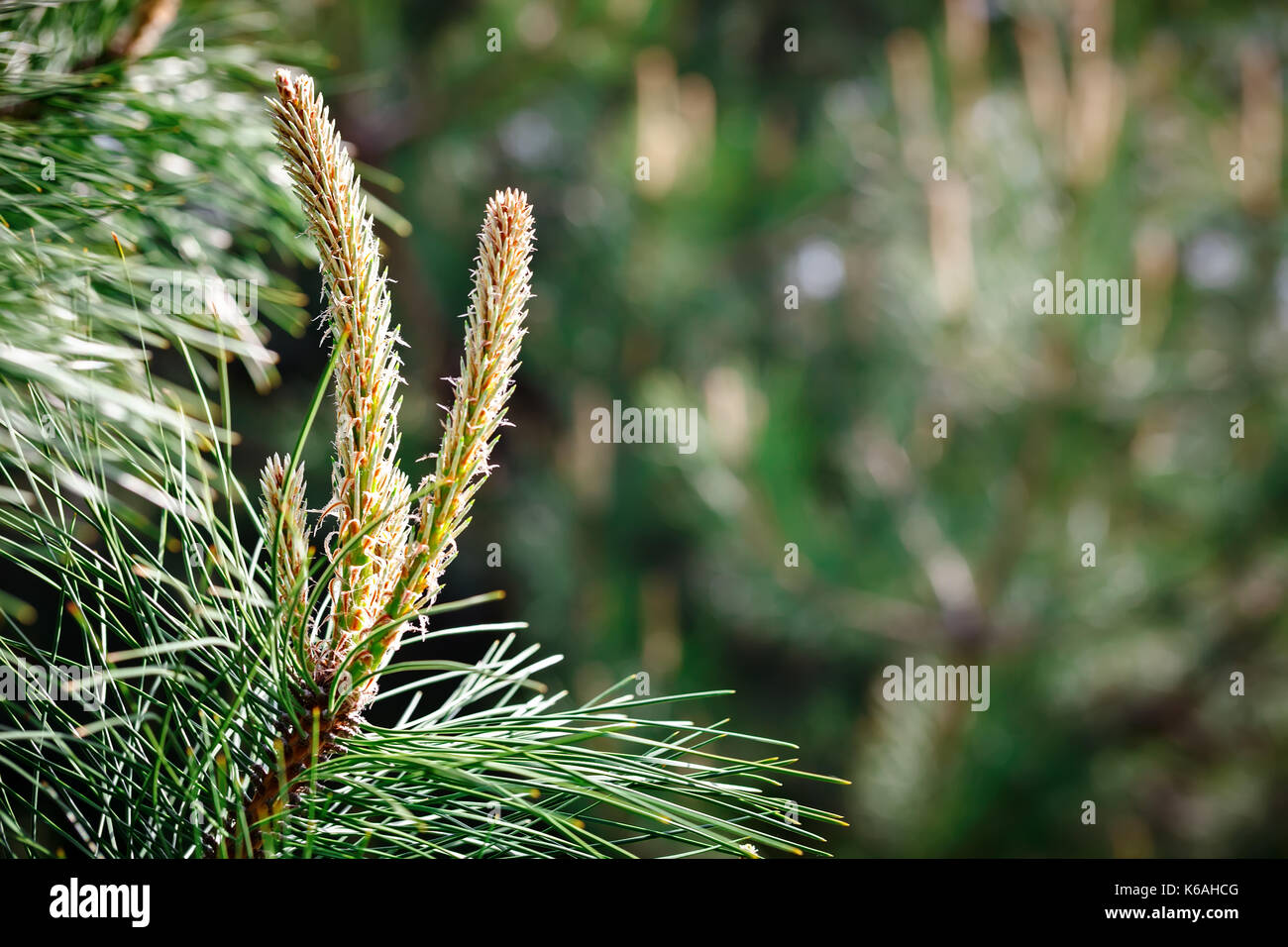 Young branches of a pine. - Stock Image