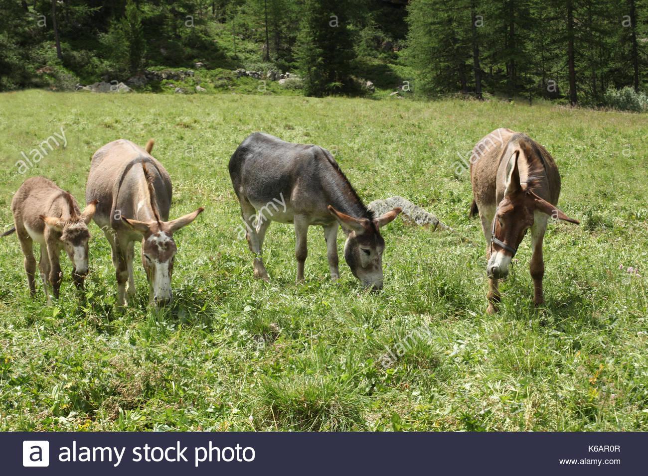 five donkeys on a meadow in italian alps valle d'aosta - Stock Image