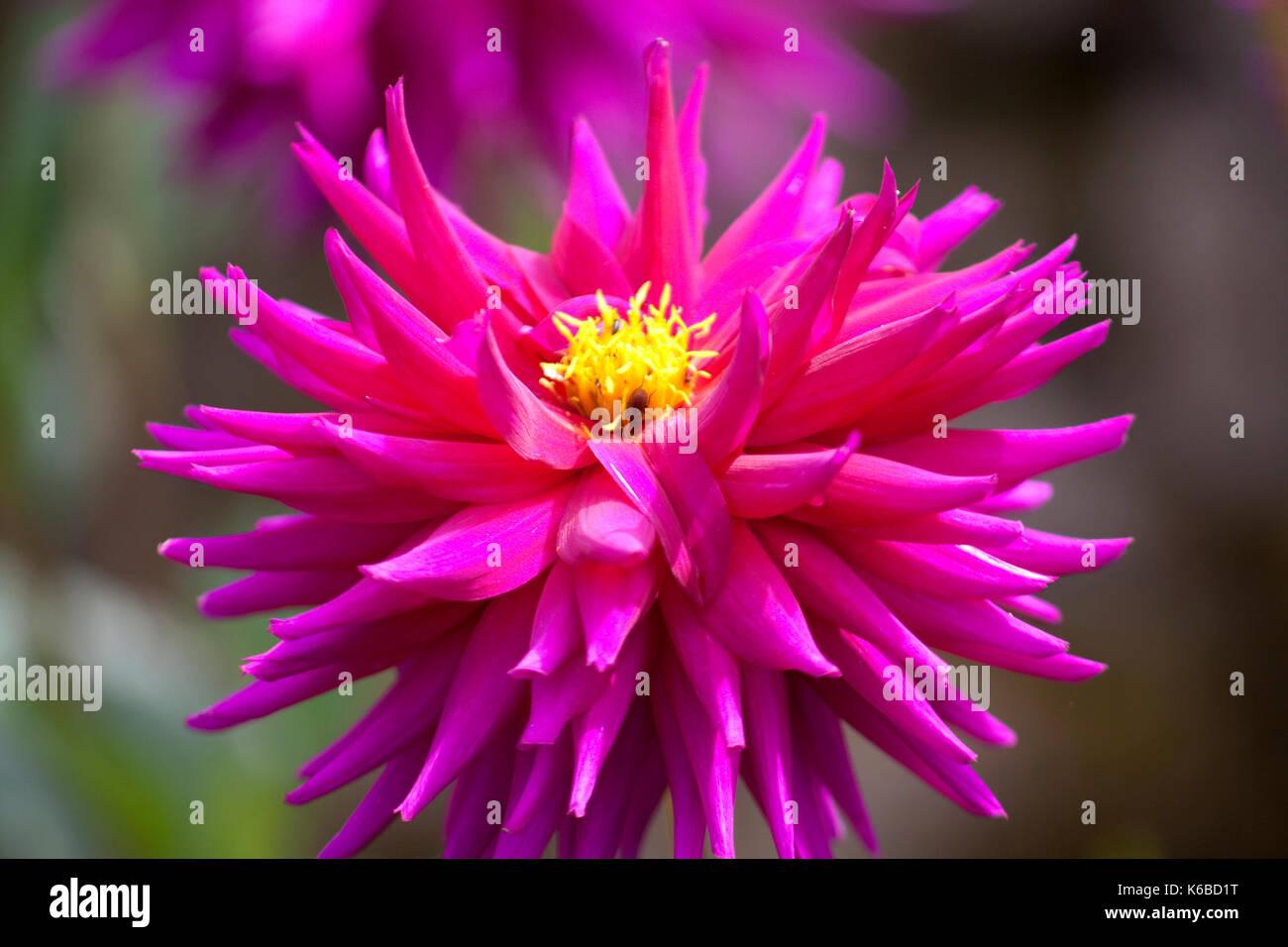 Dahlia Pink - Stock Image