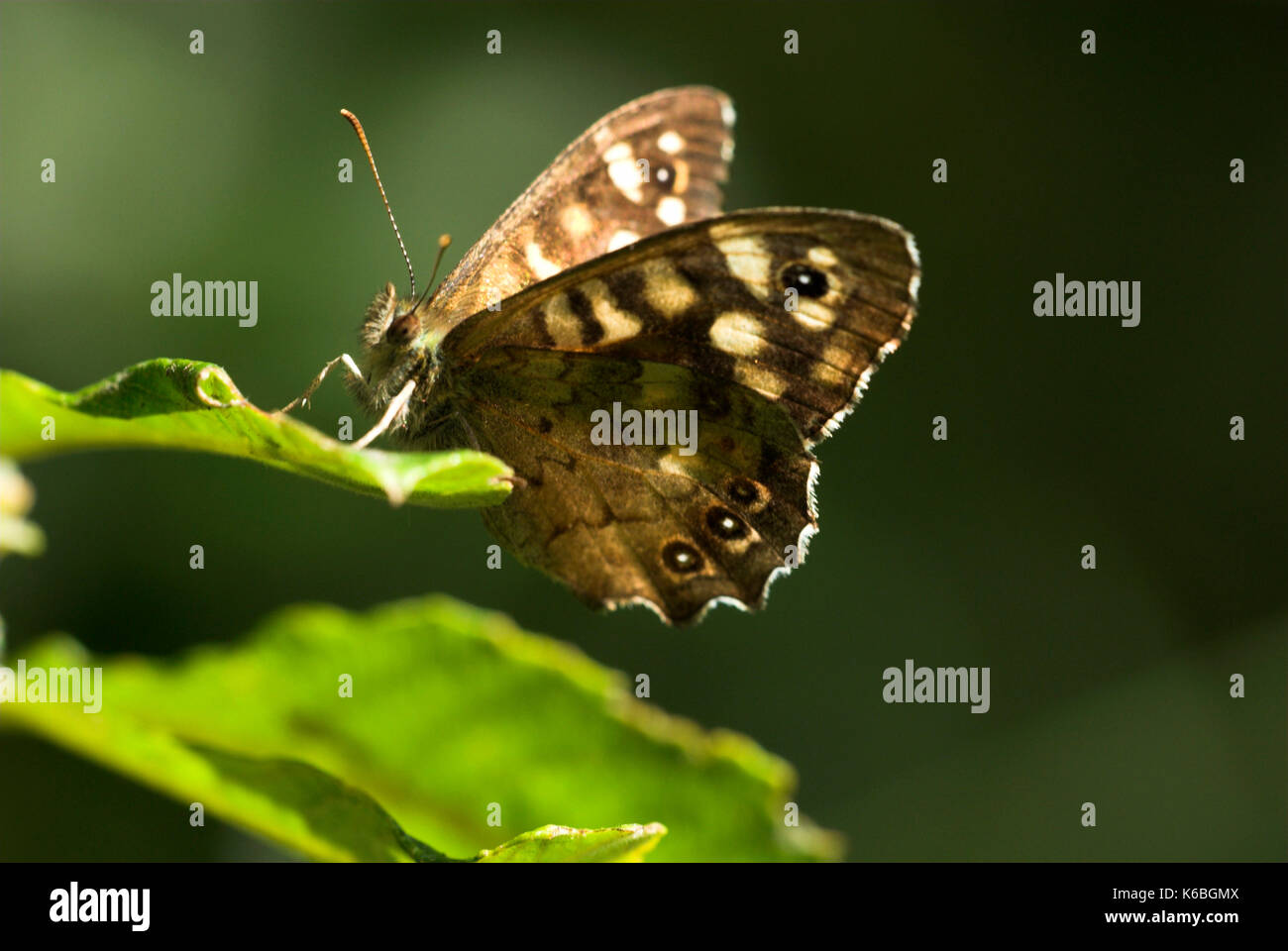 Speckled Wood Butterfly, Pararge aegeria, warming itself in patch of sunlight in woodlands - Stock Image
