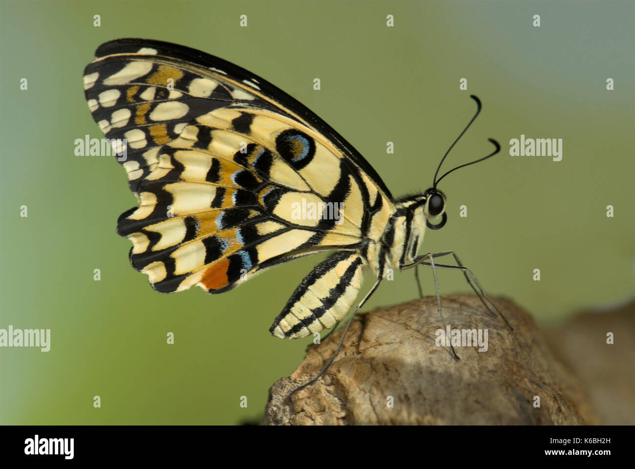 Butterfly Wings Side View