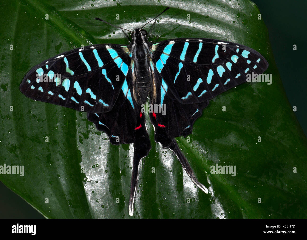 Sưu tập Bộ cánh vẩy 2 - Page 57 Graphium-colonna-butterfly-black-and-blue-swordtail-long-tail-on-leaf-K6BHYD