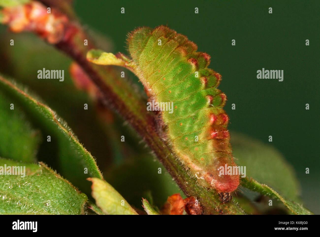 a4e38ea4 Black Hairstreak Butterfly, Caterpillar, Strymonidia pruni, Larvae, on stem  of sloe, foodplant, green with red ridge