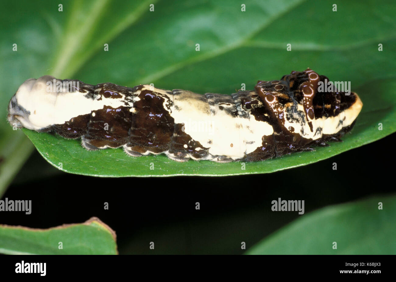 Papilio cresphontes, butterfly caterpillar, resembles bird droppings, camouflage, feed on citrus - Stock Image