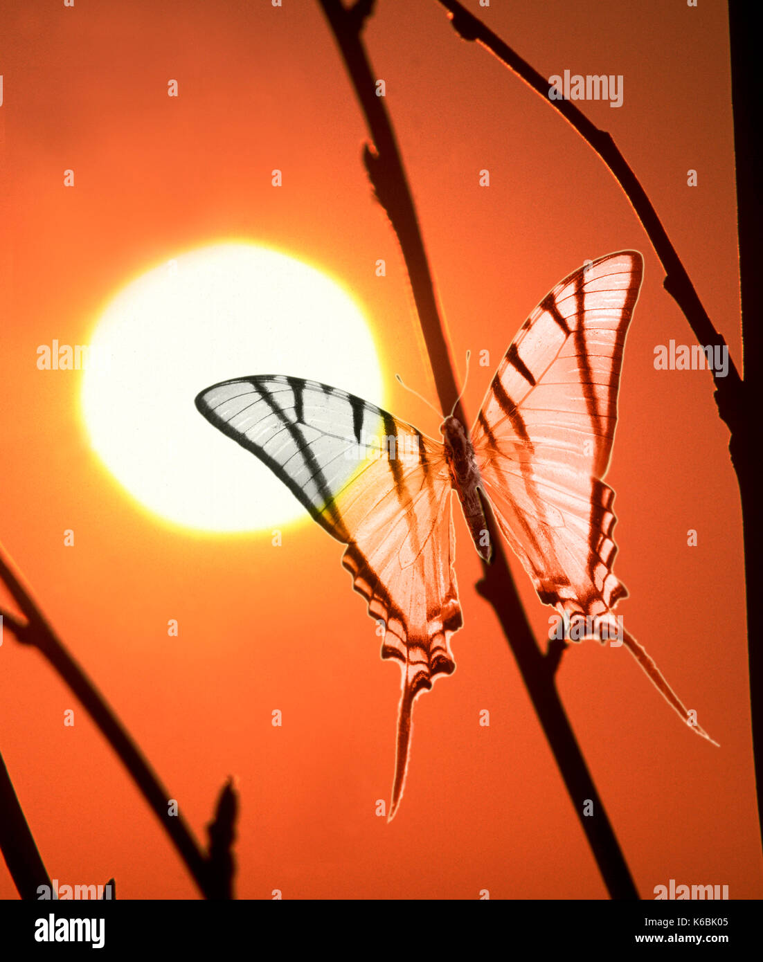Papilio protesilaus butterfly against sunset, digitally enhanced - Stock Image