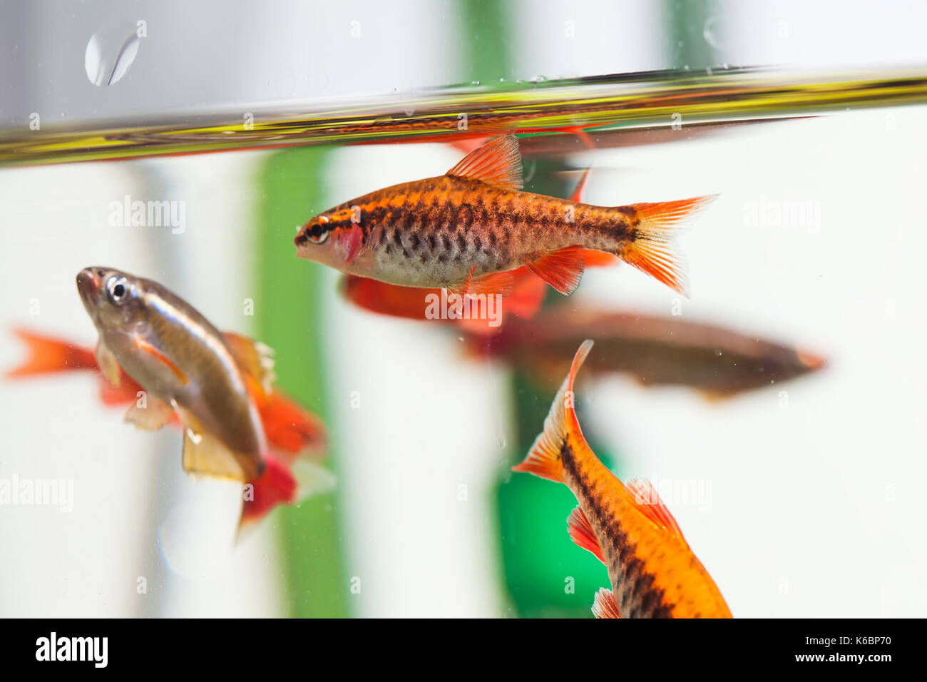 Group beautiful aquarium fishes red orange color. Cherry barb fishes macro nature concept. shallow depth of field, Stock Photo