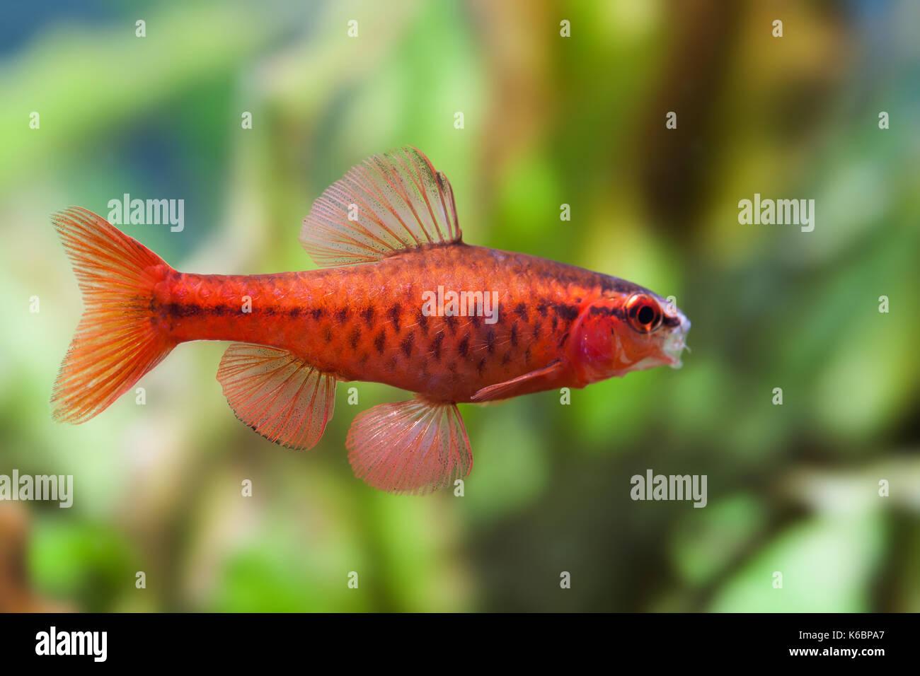 Beautiful red fish on soft green background. Male barb swimming tropical freshwater aquarium tank. Puntius titteya Stock Photo