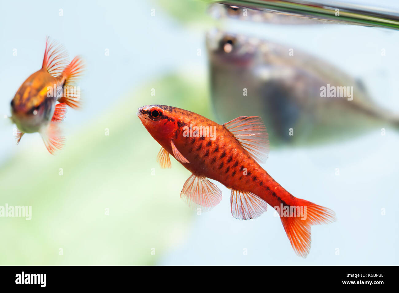 beautiful aquarium fishes red orange color. Cherry barb fishes macro ...