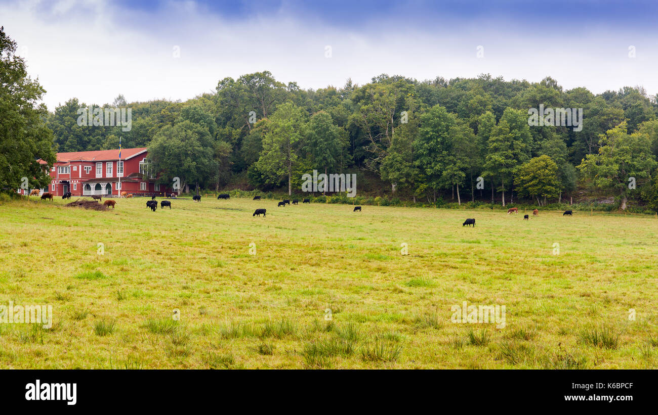 Old large typically swedish red wooden house, now serving as a Nääs Banquet Hall, with cows grazing in pasture outside Stock Photo