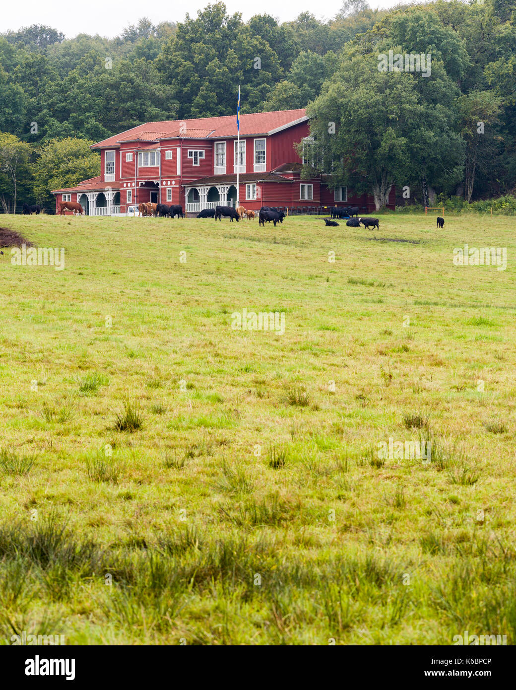 Old large typically swedish red wooden house, now serving as a Nääs Banquet Hall, with cows grazing in pasture outside  Nääs Banquet Hall was built in 1906, primarily to be used for playing and dancing practise.  Model Release: No.  Property Release: No. - Stock Image